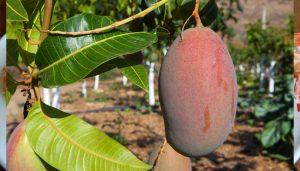 mango-finca-el-pinero-almuñecar